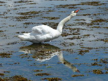 English Swan Royalty Free Stock Photos