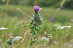 English Thistle. In the fields of Surrey Stock Images