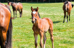 English Thoroughbred foal horse. Royalty Free Stock Images