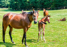 English Thoroughbred foal horse with mare Royalty Free Stock Image