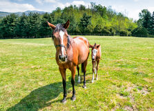 English Thoroughbred foal horse with mare Royalty Free Stock Photography