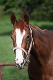 English Thoroughbred horse stock photo