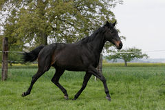 English thoroughbred horse. Portrait of a noble proud dark English thoroughbred horse Royalty Free Stock Photography