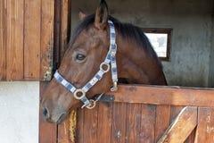 English thoroughbred racehorse in box 07. English thoroughbred racehorse in box at ZOO Bor, Serbia, hippodrome, photo taken 23.10.2013 Royalty Free Stock Photos