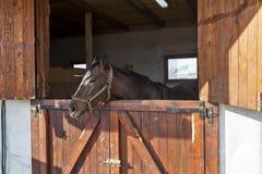 English thoroughbred racehorse in box 04. English thoroughbred racehorse in box at ZOO Bor, Serbia, hippodrome, photo taken 23.10.2013 Stock Image