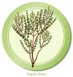 English Thyme Herb Stock Photo