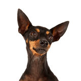 English Toy Terrier. A portrait of an English Toy Terrier Royalty Free Stock Image