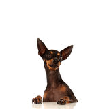 English Toy Terrier. A portrait of an English Toy Terrier Royalty Free Stock Images
