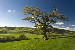 The English tree Royalty Free Stock Photo