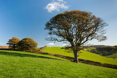The English tree Royalty Free Stock Images