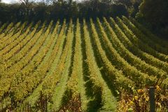 English vineyard in Autumn Stock Image