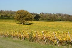 English vineyard in Autumn Stock Photography