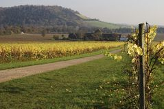 English Vineyard. Late Autumn. Royalty Free Stock Images