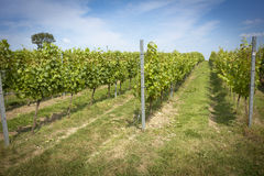English vineyard Royalty Free Stock Image