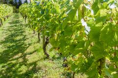 English vineyard. Row of grape vines in English vineyard Stock Images