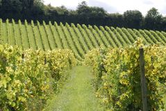 English Vineyard. Surrey. England Stock Images