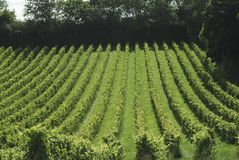 English Vineyard. Surrey. England Royalty Free Stock Photo