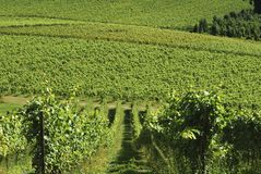 English Vineyard. Surrey. England Royalty Free Stock Images