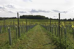 English Vineyard. Surrey. England Stock Photography