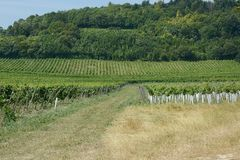 English vineyard in Surrey Stock Photography