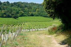 English vineyard in Surrey Royalty Free Stock Photo