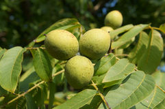 English walnut three green fruits on a branch tree Stock Image