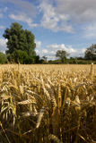 Ripe wheat field Royalty Free Stock Images