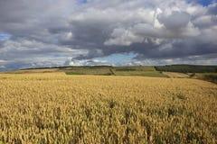 English wheat fields Stock Image