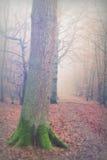 English woodland on a foggy misty morning Royalty Free Stock Image
