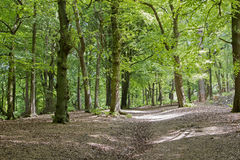 English woodland Stock Photography