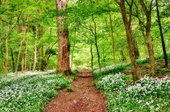 English woodland scene with wild garlic Stock Image