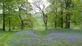English bluebell wood in Spring Stock Photo