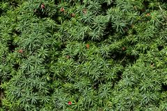 English yew or european yew green branches with red berry Royalty Free Stock Photography