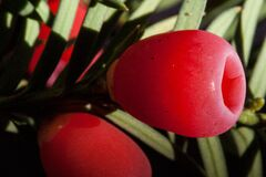 English Yew Plant Royalty Free Stock Photo