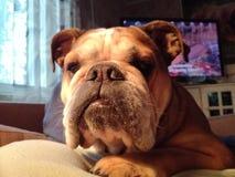 Englishbulldog pies migdali zwierzęcia domowego zwierzęcia buldoga Zdjęcia Stock
