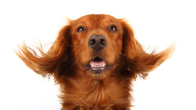 Englsih Cocker Spaniel. This is a portrait of an English working cocker spaniel with his ears being blown by wind Royalty Free Stock Images