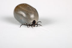 Engorged cat tick over white, macro Royalty Free Stock Photo