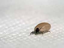 Engorged tick insect, disease risk etc. Stock Images