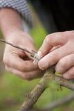 Engraft da árvore Imagem de Stock Royalty Free