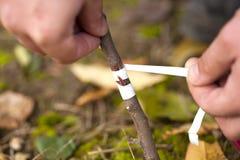 Engraft dell'albero Fotografia Stock Libera da Diritti