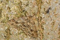 Engrailed (crepuscularia Ectropis) που καλύπτεται σε στάση στο φλοιό Στοκ Φωτογραφία
