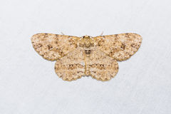 Engrailed or Small Engrailed moth Royalty Free Stock Photo
