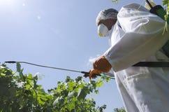 Engrais de pulvérisation d'agriculteur sur les feuilles de raisin photo stock
