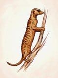 Engrave ink draw meerkat illustration Stock Images
