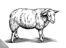 Engrave ink draw sheep illustration Stock Photos