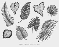 Engraved, hand drawn tropical or exotic leaves isolated, leaf of different vintage looking plants. monstera and fern. Palm with banana botany set Royalty Free Stock Photos