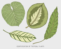 Engraved, hand drawn tropical or exotic leaves isolated, leaf of different vintage looking plants. monstera and fern. Palm with banana botany set Royalty Free Stock Photo