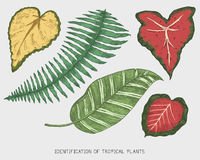 Engraved, hand drawn tropical or exotic leaves isolated, leaf of different vintage looking plants. monstera and fern Royalty Free Stock Images