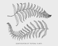 Engraved, hand drawn tropical or exotic leaves isolated, leaf of different vintage looking plants. monstera and fern Royalty Free Stock Image