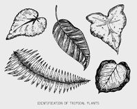 Engraved, hand drawn tropical or exotic leaves isolated, leaf of different vintage looking plants. monstera and fern. Palm with banana botany set Stock Images